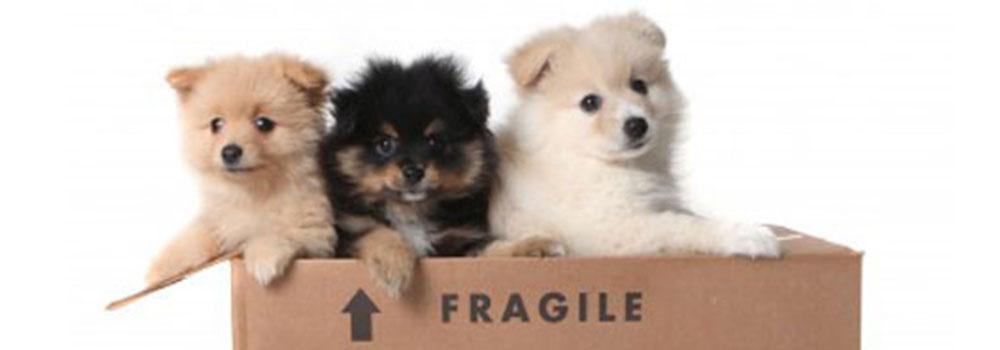 Pet Transport Full